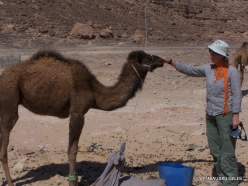 4 Sinai desert. Bedouins village. With young camel