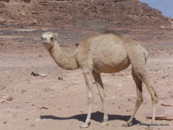 4 Sinai desert. Bedouins village. Young camel