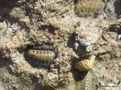 Ras Mohammed national park. Chitons (Polyplacophora)