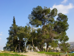 Jerash. Aleppo pine