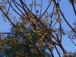 Jerash. Chinaberry tree
