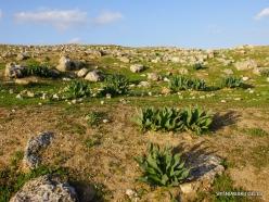 Jerash. Sea squill (Drimia maritima) (4)