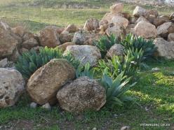 Jerash. Sea squill (Drimia maritima)