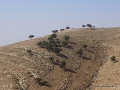 Mount Nebo. Aleppo pine