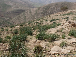 Mount Nebo. Common Asphodel (Asphodelus aestivus)