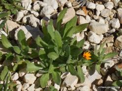 Mount Nebo. Field marigold