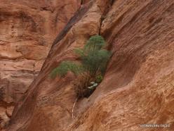 Petra. Gorge al-Siq. Ferula sp.