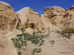 Petra. Road to the ancient city. Sea squill (Drimia maritima)