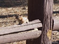 Braiso kanjono nacionalinis parkas. Auksaspalvis staras (Callospermophilus lateralis) (1)