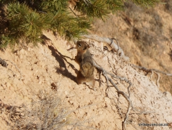 Braiso kanjono nacionalinis parkas. Auksaspalvis staras (Callospermophilus lateralis) (2)
