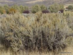 Centrinės Jutos stepės. Tridantis kietis (Artemisia tridentata) (1)
