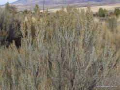 Centrinės Jutos stepės. Tridantis kietis (Artemisia tridentata) (2)