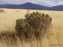 Centrinės Jutos stepės. Tridantis kietis (Artemisia tridentata) (5)