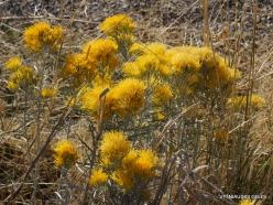 Didysis Druskos ežeras (Great Salt Lake). Ericameria nauseosa (1)