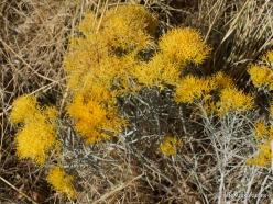 Didysis Druskos ežeras (Great Salt Lake). Ericameria nauseosa (2)