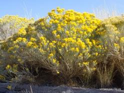 Didysis Druskos ežeras (Great Salt Lake). Ericameria nauseosa (4)