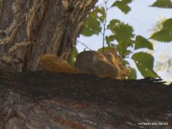 Solt Leik Sitis. Šventyklos skvero želdiniai. Juodoji voverė (Sciurus niger)