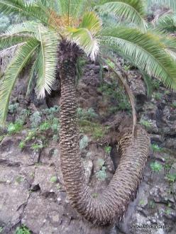 Icod De Los Vinos. Drago Park. Canary Island date palm (Phoenix canariensis)