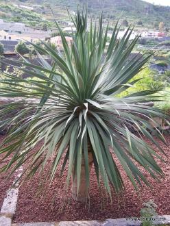 Icod De Los Vinos. Drago Park. Dragon Tree (Dracaena draco) (2)