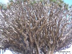 """Icod De Los Vinos. Drago Park. Old Dragon Tree (Dracaena draco) """"El Drago Milenario"""" (3)"""