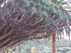 """Icod De Los Vinos. Drago Park. Old Dragon Tree (Dracaena draco) """"El Drago Milenario"""" (4)"""