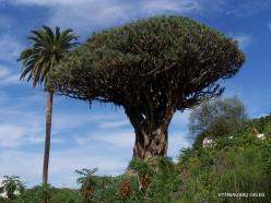 """Icod De Los Vinos. Drago Park. Old Dragon Tree (Dracaena draco) """"El Drago Milenario"""" (5)"""