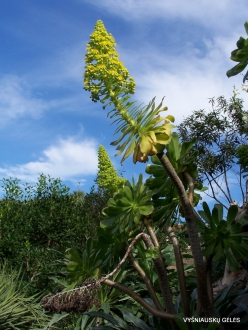 Icod De Los Vinos. Drago Park. Tree Houseleek (Aeonium sp.) (2)