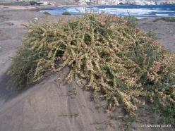 Near El Medano. Playa del Médano. Coastal plants (2)