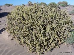 Near El Medano. Playa del Médano. Coastal plants