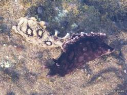 Near El Medano. Playa del Médano. Spotted sea hare (Aplysia dactylomela) (3)