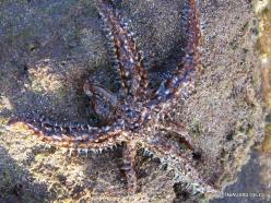 Near El Medano. Playa del Médano. Starfish (Coscinasterias tenuispina) (2)
