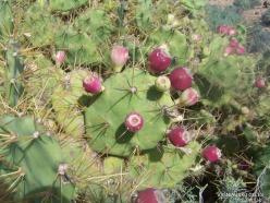Near El Medano. Prickly pear (Opuntia maxima)