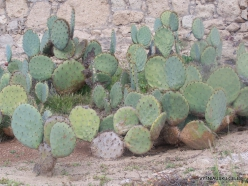 Near Los Christianos. Cactus park (11)