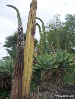 Near Los Christianos. Cactus park (13)