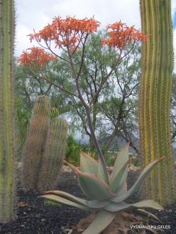 Near Los Christianos. Cactus park (14)
