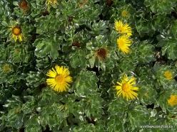 Near Masca. Canary Island Daisy (Asteriscus sericeus)