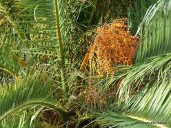Near Masca. Canary Island date palm (Phoenix canariensis)