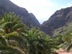 Near Masca. Canary Island date palms (Phoenix canariensis)