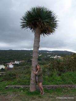 Near Masca. Dragon Tree (Dracaena draco)