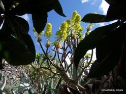 Near Masca. Tree Houseleek (Aeonium sp.) (3)