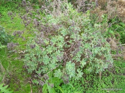 Near Masca. Tree Houseleek (Aeonium sp.) (5)