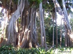 Puerto de La Cruz. Botanical garden. Australian banyan (Ficus macrophylla)