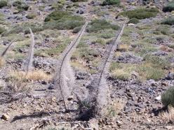 Teide National Park. Tenerife bugloss (Echium wildpretii)