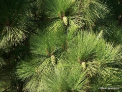 Vilaflor. Canary Island pine (Pinus canariensis)