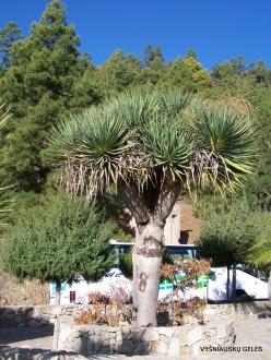 Vilaflor. Dragon Tree (Dracaena draco)