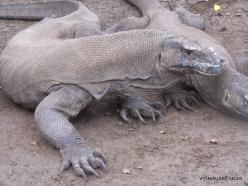 1 Komodo National Park. Rinca island. Komodo dragons (Varanus komodoensis) (9)