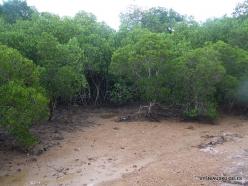 1 Komodo National Park. Rinca island. Mangroves (3)