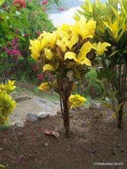 Croton (Codiaeum sp.) collection (2)