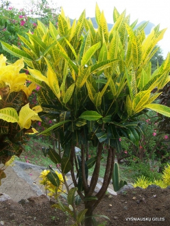 Croton (Codiaeum sp.) collection (3)