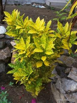 Croton (Codiaeum sp.) collection (4)